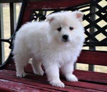 American Eskimo Puppies Image eClassifieds4U