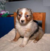 Australian Shepherd Puppies Image eClassifieds4U