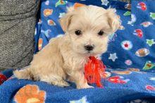 Maltipoo Puppies Image eClassifieds4U