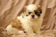 Shih Tzu Puppies Image eClassifieds4U