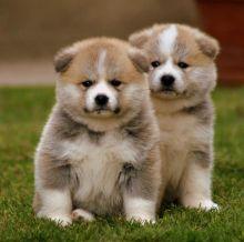 Akita Inu Puppies For Adoption