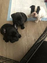 French Bulldog Puppies Available For Adoption