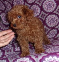 Healthy Poodle Puppies