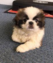 Pekingese Puppies For Adoption