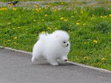 Pomeranian Puppies Available.