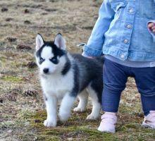 Siberian Husky Puppies
