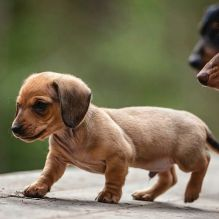 Smooth coat Dachshund Puppies available