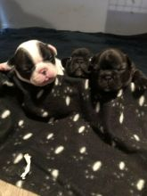 French Bulldog Puppies Available For Adoption Image eClassifieds4u 2
