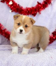 C.K.C MALE AND FEMALE PEMBROKE WELSH CORGI PUPPIES AVAILABLE