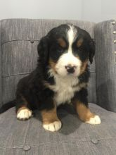 Bernese Mountain Puppies For Adoption