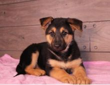 C.K.C MALE AND FEMALE GERMAN SHEPHERD PUPPIES AVAILABLE