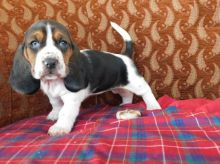 Basset Hound Puppies For Adoption