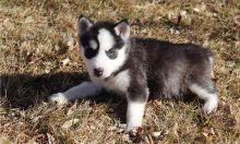 Gorgeous Blue Eyes Siberian Husky Puppies.