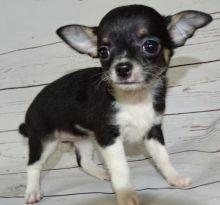 Apple Head Tiny Chihuahua puppies available.