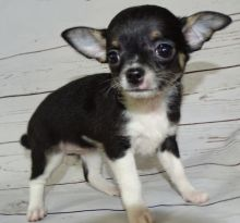 Apple Head Tiny Chihuahua puppies available.