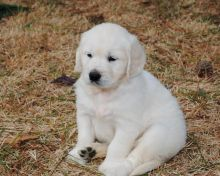 Beautiful Golden Retriever Puppies for any pet loving home