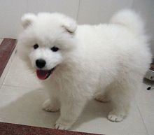 Beautiful Samoyed Puppies For Pet Loving Homes