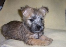 Kelowna Cairn Terrier : Dogs, Puppies for Sale Classifieds