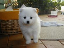 Japanese Spitz puppies for Caring homes