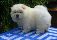 Outstanding Chow Chow puppies