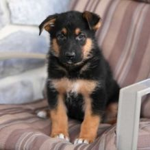 Potty Trained German Shepard Puppies Ckc Registered For Adoption.