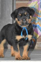 Rottweiler Puppies for R-Homing