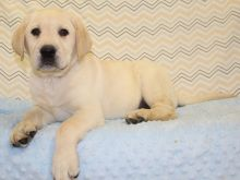 Well trained Labrador Retriever puppies ready for their new homes Image eClassifieds4U
