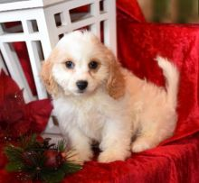 Cavachon Puppies For You