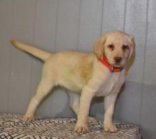 Labrador Retriever Puppies For You