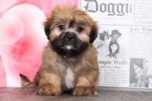 Lhasa Apso Puppies For You