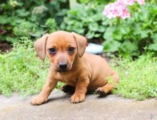 Lovely Cute Dachsund Puppies Available for Adoption Text (267) 409-6931.:templetonlesly10@gmail.com