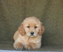 Lovely Reg Golden Retriever Available for Adoption Text (267) 409-6931.:templetonlesly10@gmail.com