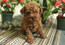 Lovely Toy Poodle Puppies Available for Adoption Text (267) 409-6931.:templetonlesly10@gmail.com