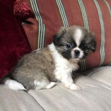 Pekingese Puppies For You