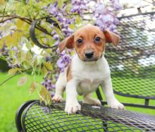 Quality Jack Russell Puppies Available for Adoption Text (267) 409-6931.:templetonlesly10@gmail.com