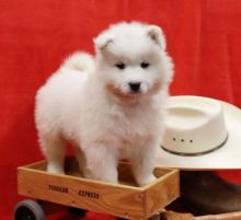 Samoyed Puppies For You