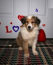 Sheltie Puppies For You