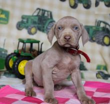 Weimaraner Puppies For You