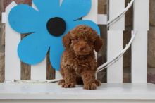 Toy Poodle Image eClassifieds4U