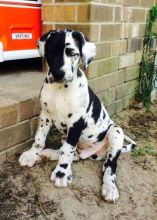 Adorable Great Dane Puppies Available