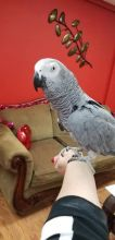 African Grey Parrots is highly sought after by enthusiasts for its ability to learn to talk
