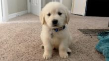 Golden Retriever puppies, cKC registered, males and females.(430)201-0537