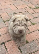 Shar Pei Puppies For You