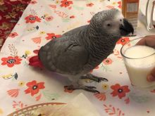 A Pair of Talking African Grey Parrots. Image eClassifieds4u 1