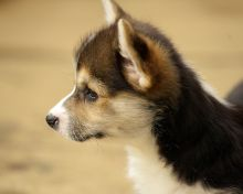 Cute Pembroke Welsh Corgi Puppy For Adoption