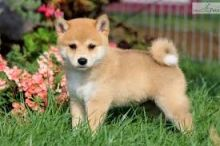 Adorable Shiba Inu puppies available. Text or call us @(574) 216-3805