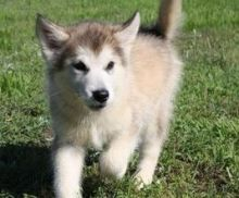 Alaskan Malamute Puppies for adoption. Call or text us @(574) 216-3805