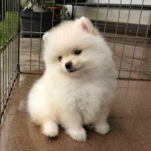 Charming Pomeranian puppies for adoption. Call or text us @(574) 216-3805