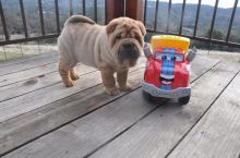 Chinese Shar Pei Puppies For Adoption