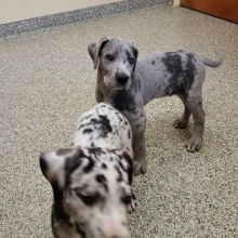 Great Dane Puppies For Adoption